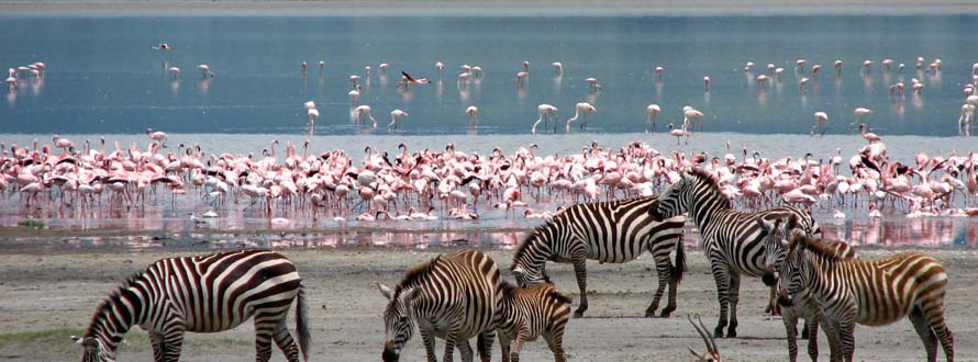 Flamingos and zebras, Lake Nakuru