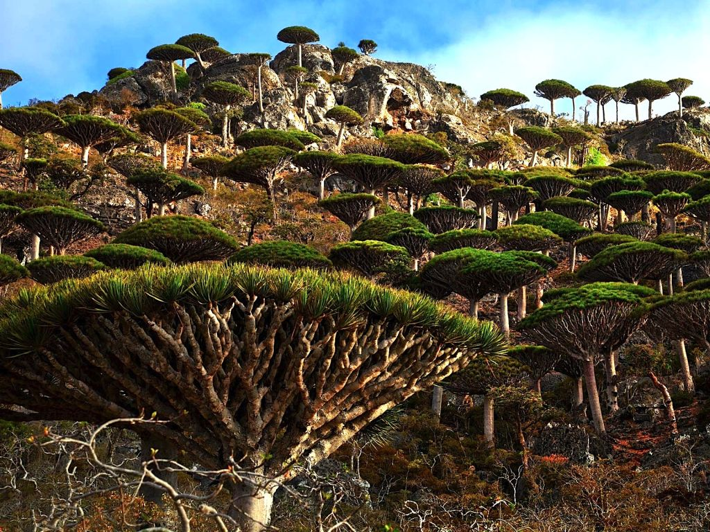 Forest of Dragon Trees, Dixam Plateau, Socotra