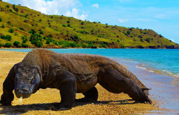 Habitat of Komodo Dragons, Komodo Island Facts