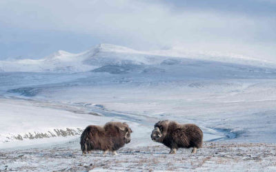 Wrangel Island Russia: Home for the Last Mammoth