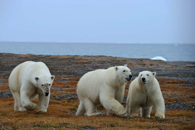 Ice bears on the island of Wrangel