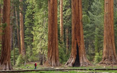Tallest tree on Earth:  Redwood National and States Park
