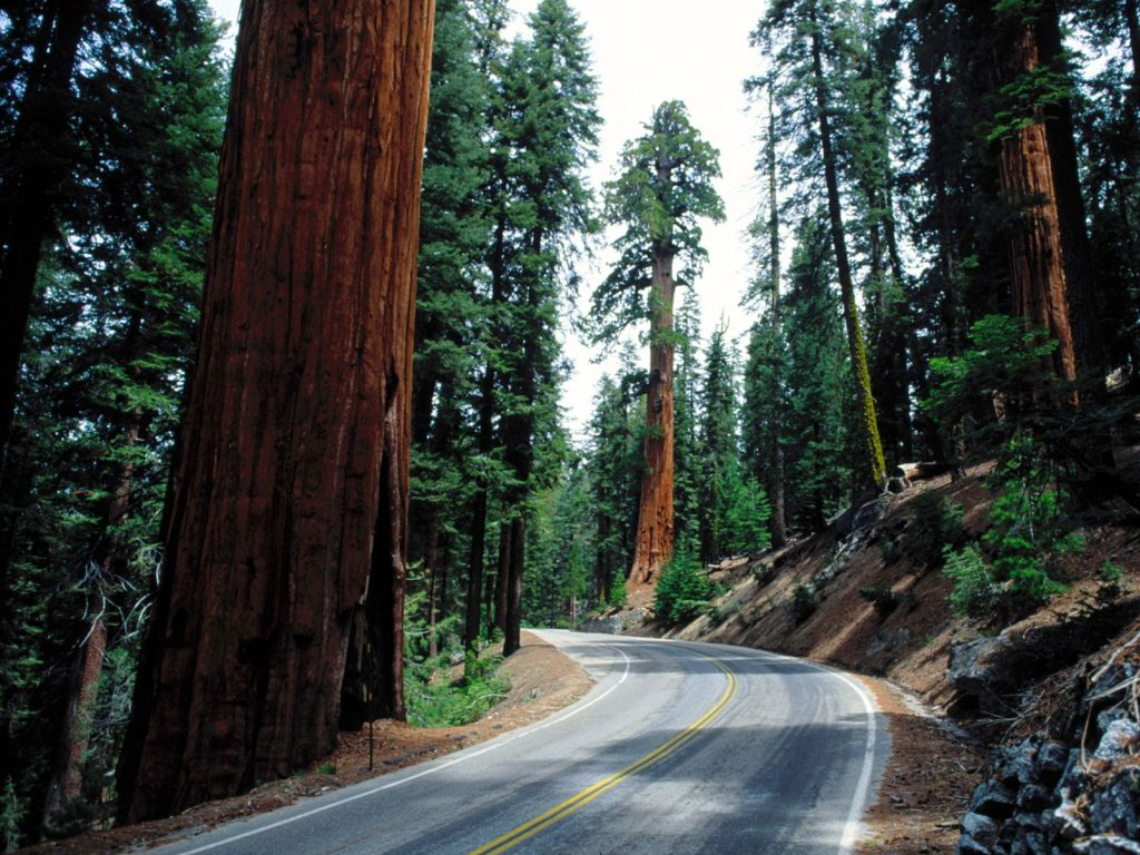 Road running though the Giant Forest in California