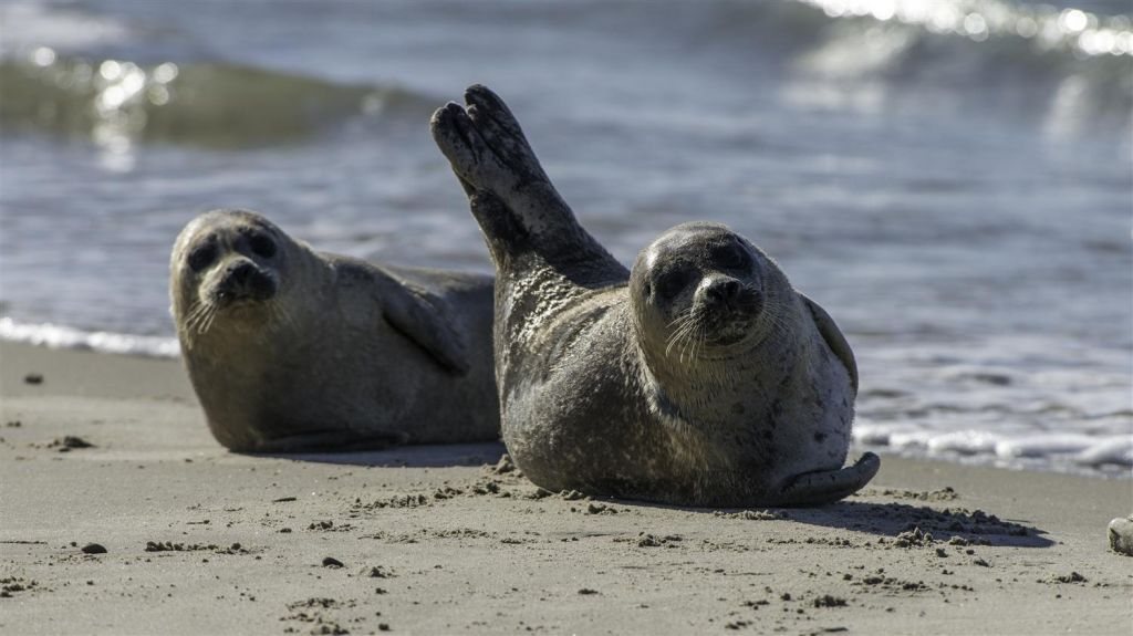 Seals Wadden Sea