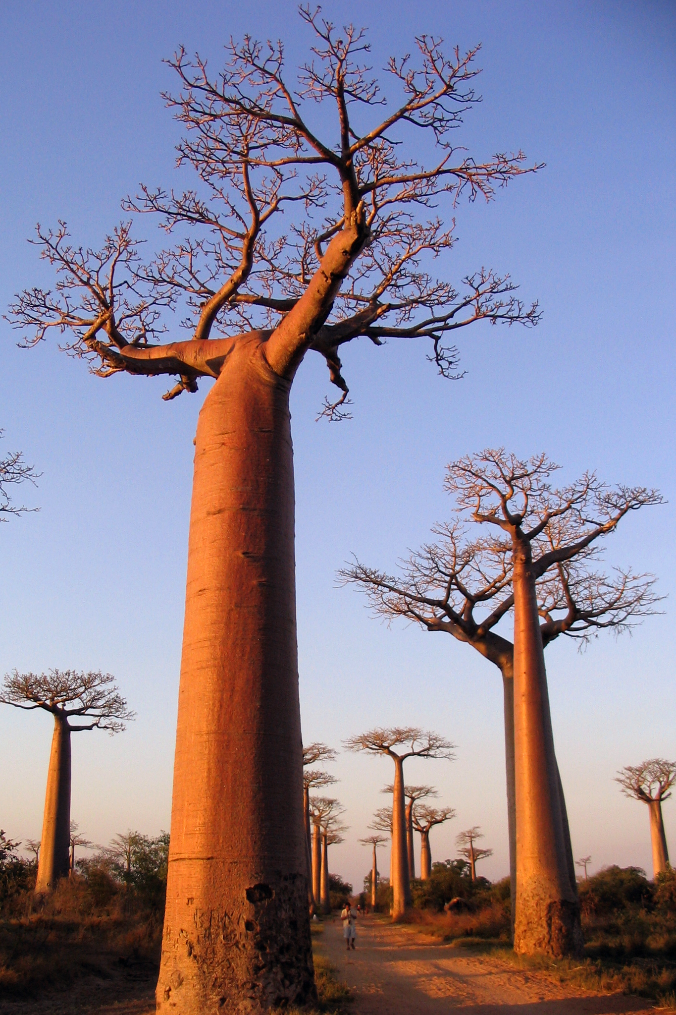 Baobabs trees along the prominent avenue in madagascar