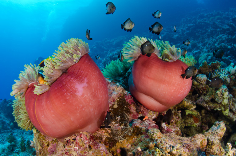 Two closed anemones at Giftun Islands in Egypt