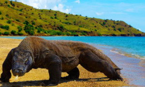 Habitat of Komodo Dragon: Facts about Komodo Island in Indonesia