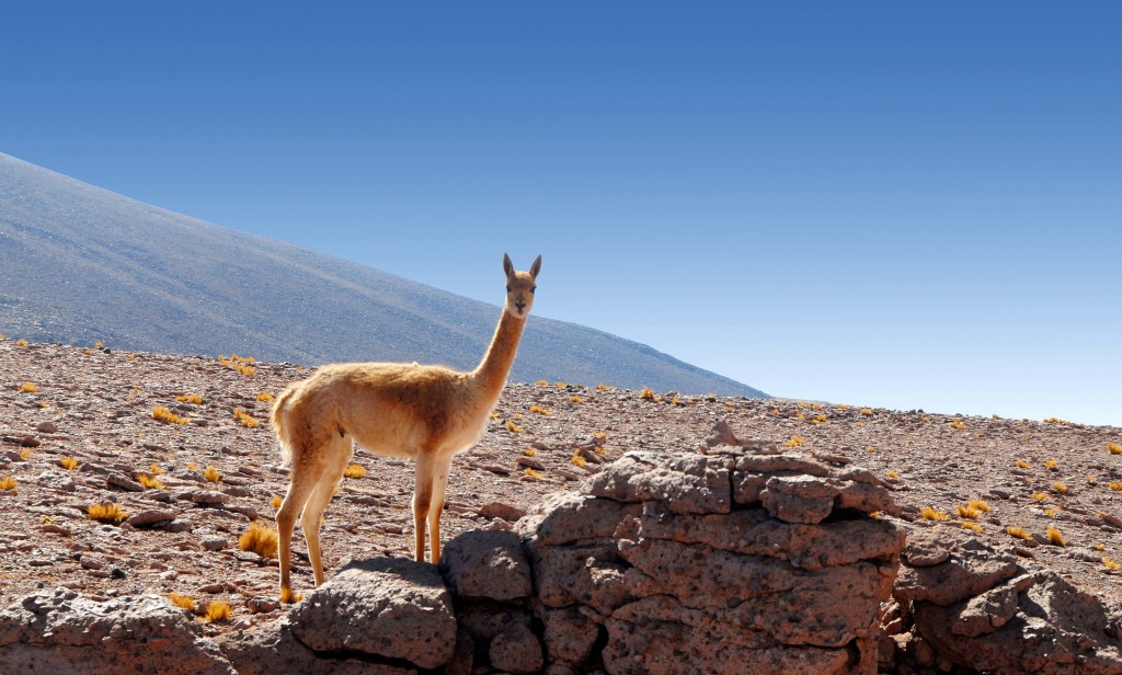 Llama in the Atacama Desert