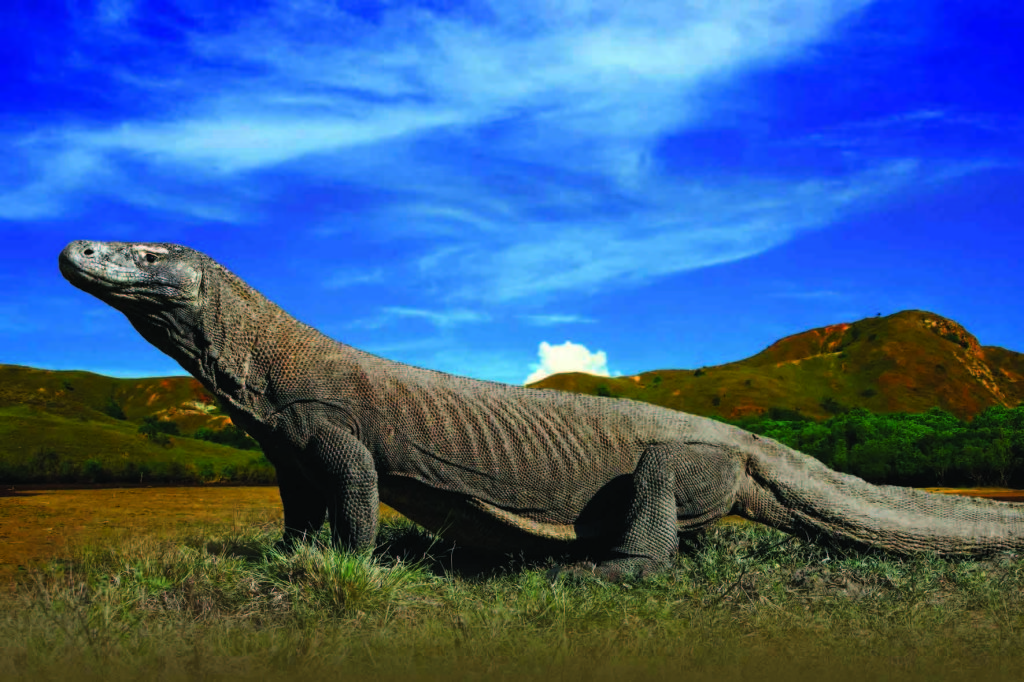 Komodo Island is habitat for Komodo Dragon
