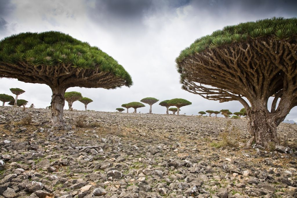 Group of Dragon Trees on Socotra Island in Yemen