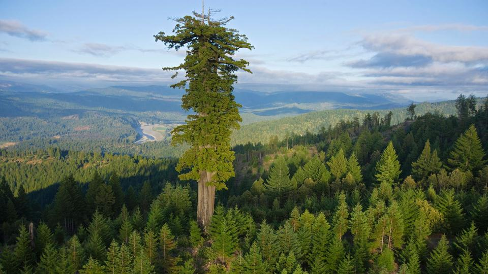 The tallest tree on Earth is located in Redwood National and States Park