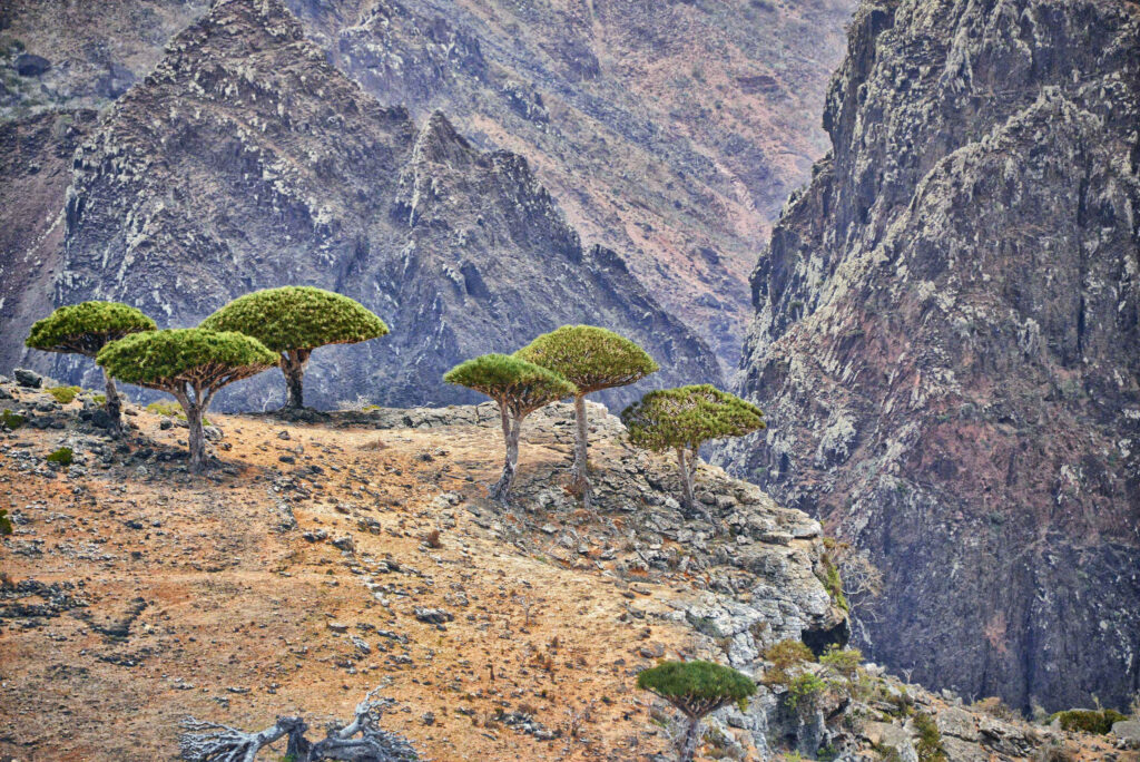 Dragon's Blood Trees, Socotra Island.